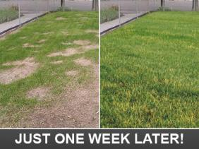 this is how your lawn will look one week later with the help of our Hallandale irrigation repair specialists